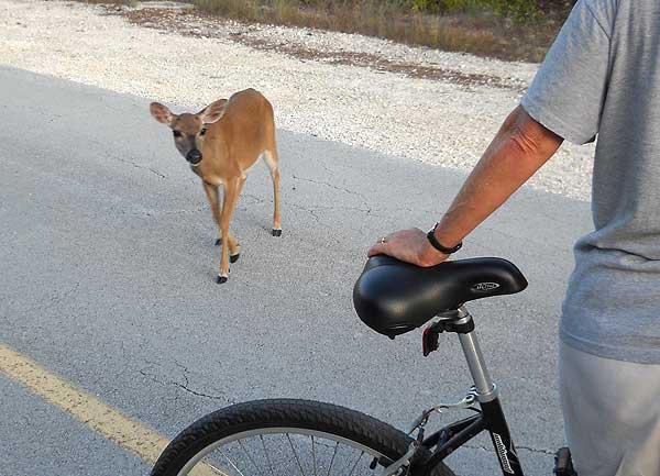 Key deer approaches bike, No Name Key, Florida Keys