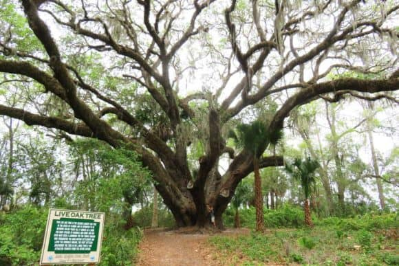 Stop at little known Lake Griffin State Park for a famous tree and more