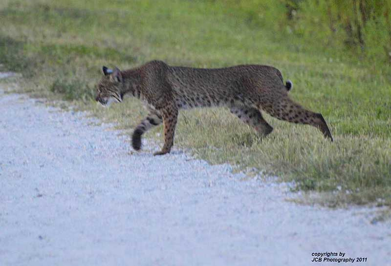 Photographer James Baker, whose photos can be seen as JokersWild1963 on Flickr, captured a bobcat at Circle B Bar Reserve.