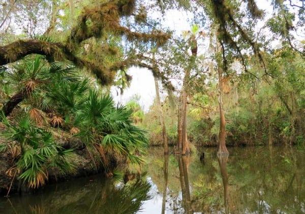 Cypress trees at Shell Creek, a beautiful kayak river near Punta Gorda