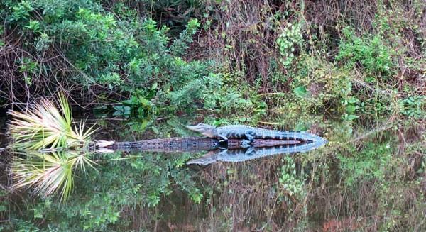 Small, shy gators were easy to spot along Shell Creek near Punta Gorda