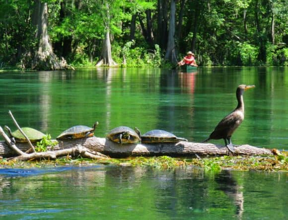 Ichetucknee Springs State Park is turtle paradise. (Photo: David Blasco)