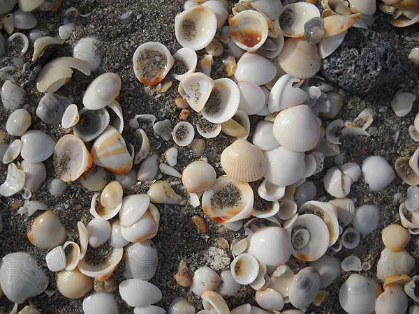 Seashells are plentiful at John D MacArthur Beach State Park. (Photo: Bonnie Gross)