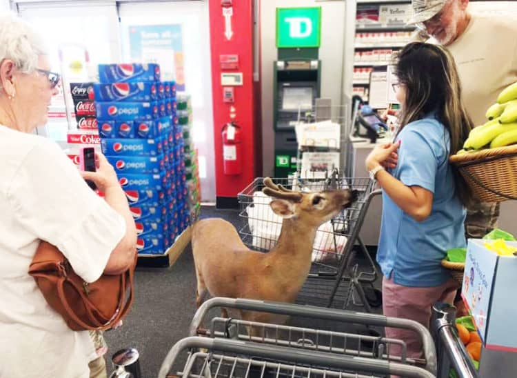 key deer in store Nancy McV Big Pine Key nature center helps you learn where to see Key deer