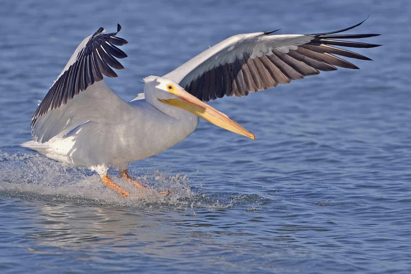 White pelican   natures pics See white pelican migration on Florida's Gulf Coast