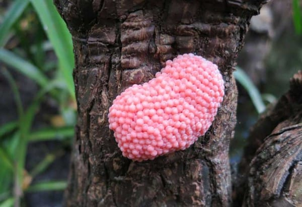 The eggs of the apple snail looked like bubblegum stuck to the cypress knees along the Loxahatchee River kayak trip in March