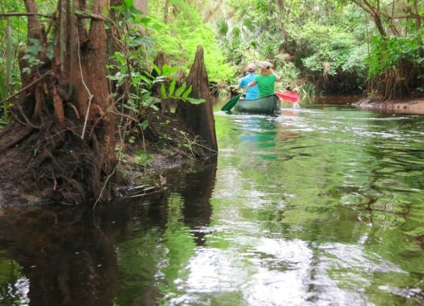 Two weeks after a heavy rain storm, the current was swift kayaking the Loxahatchee River.