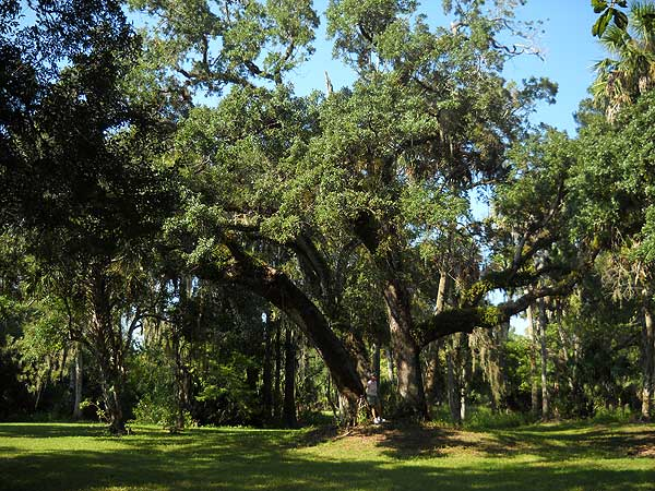 Historic like oak trees at Riverbend Park, Jupiter