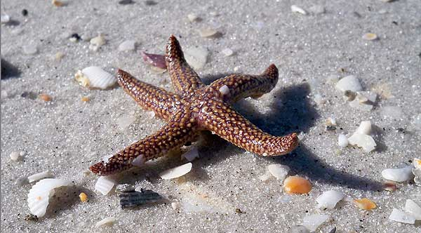 The starfish was one of many treasures found walking Cayo Costa, which is a secluded quiet beach in Florida.