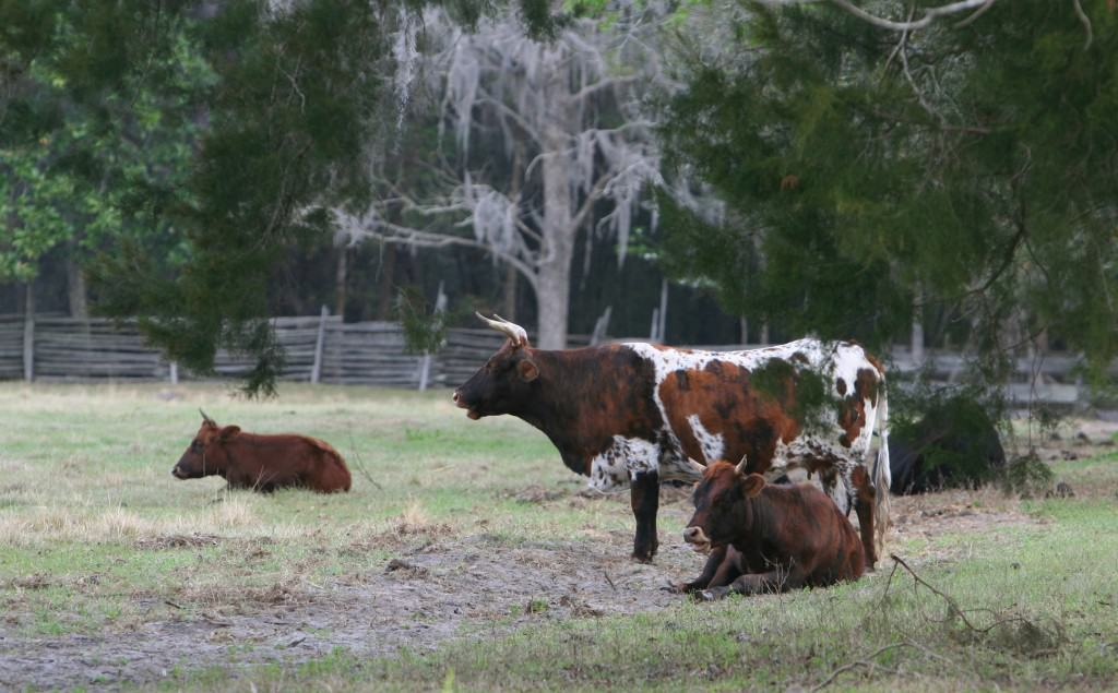 Florida cracker cows along the Cracker Trail