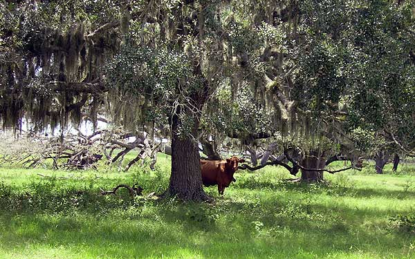 cracker trail moo Scenic roads: A drive in Old Florida cow country