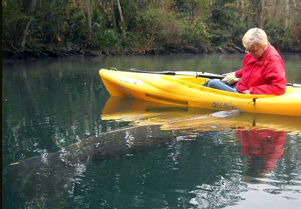 Where to see manatees in Florida: This manatee nudges our kayak at Weeki Wachee. (Photo: David Blasco)
