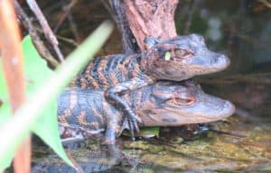 Baby alligators were visible from the paved walkway at Shark Valley area of Everglades National Park.