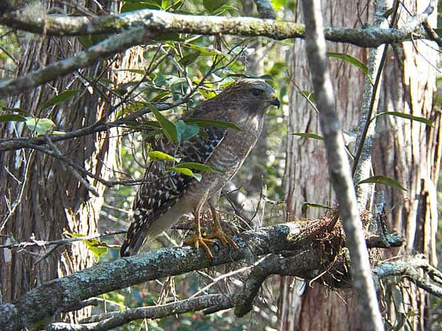Audubon Corkscrew Swamp Sanctuary Naples hawk