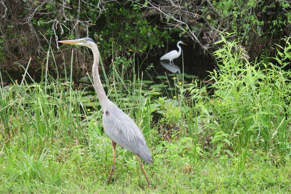 Great blue heron and a great white egret at Shark Valley entrance to Everglades National Park. (Photo: Bonnie Gross)