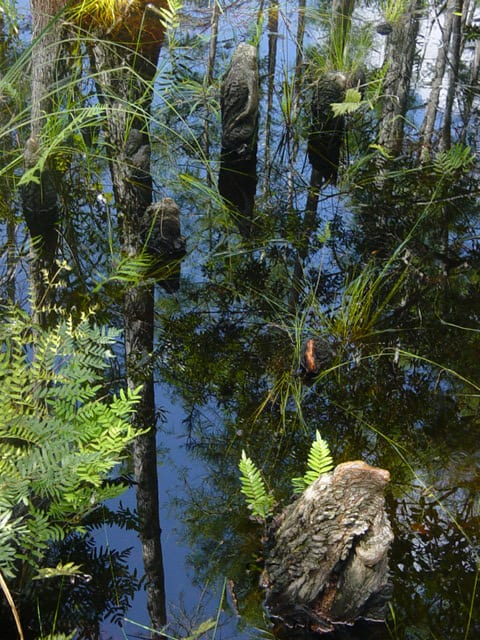 Cypress Boardwalk at Grassy Waters Preserve in West Palm Beach
