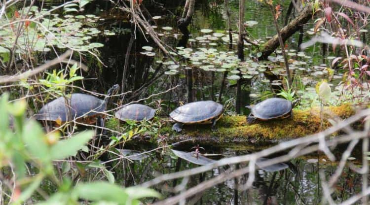 At one bridge along the Van Fleet bike trail, we saw a log with six turtles on it. (Photo: David Blasco)