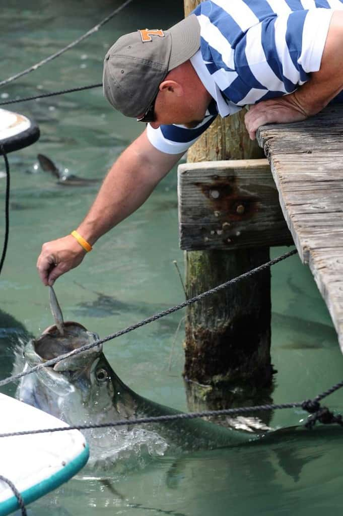 You can feed the tarpon at Robbie's Marina by tossing fish to them. Some want to brave the experience of hand-feeding the toothy fish. (Photo: David Blasco)