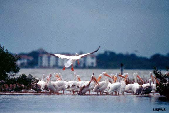 White Pelicans on Pelican Island
