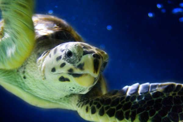 sea turtle closeup 2019 sea-turtle walks: It's time to register for a natural thrill