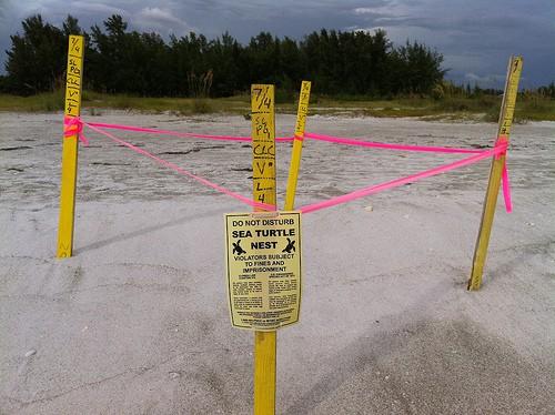 Sea turtle walks 2021: Broward beach with sea turtle nest marked.