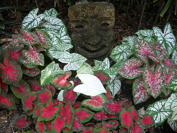 Caladiums with tiki sculpture at Washington Oaks State Park, Palm Coast