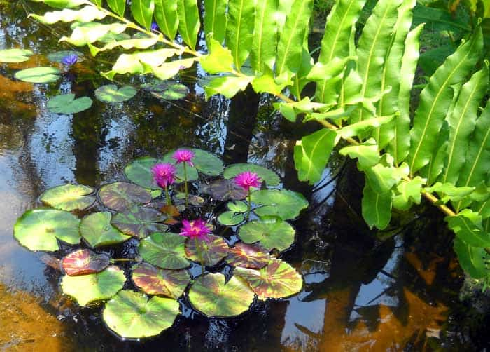Group of water lilies at McKee Botanical Gardens, Vero Beach