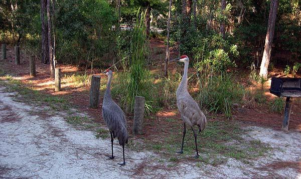 Florida parks: Endangered sandhill cranes at Moss Park in Orlando. (Photo: Florida Rambler.)