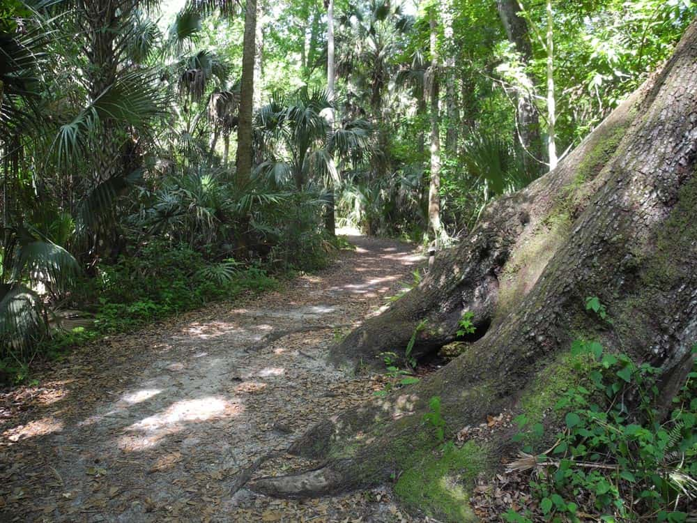 Big Oak Trail at Highlands Hammock State Park