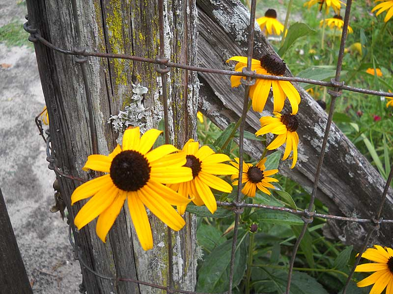 Marjorie Kinnan Rawlings Historic State Park: Black-eyed Susans at Cross Creek