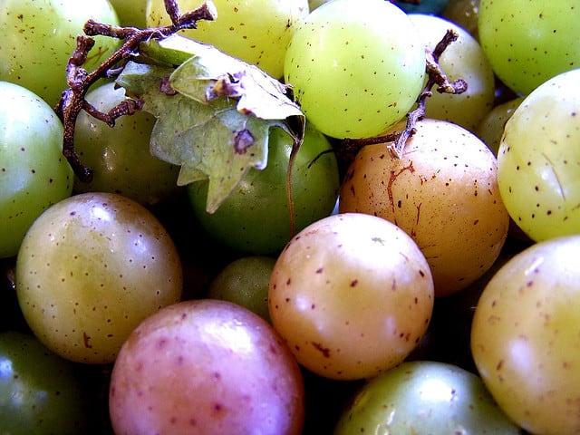 grapes via flickr Florida wineries stomp grapes at harvest festivals