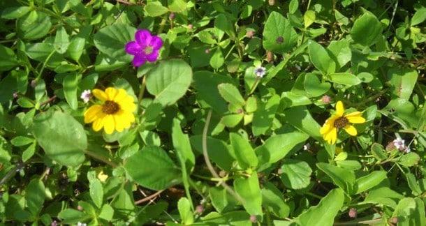 Secret beach: Hobe Sound Natio nal Wldlife Refug beach flowers