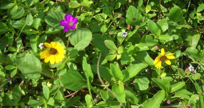 Secret beach: Hobe Sound National Wldlife Refug beach flowers