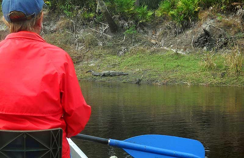 Gator on Peace River, Florida, canoe trip