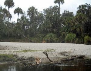 Deer along Peace River, Florida
