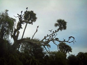 Vultures along Peace River, Florida