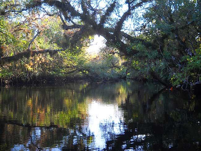 St. Lucie River South Branch kayak trail oak tree