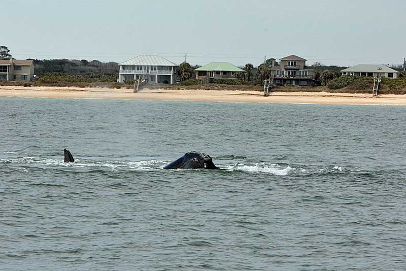 Whale watching in Florida: Right whale near shore off Flagler County beach(Photo courtesy Florida Fish and Wildlife Conservation Commission, taken under research permit issued by NOAA Fisheries.)