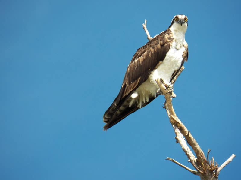 Osprey at MacArthur Beach State Park, Florida