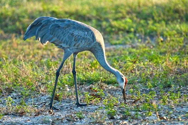 Sandhill Crane at Paynes Prairie Preserve, Florida