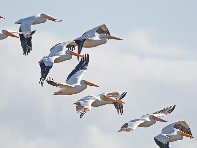 White Pelicans in Merritt Island/ John Young Photo