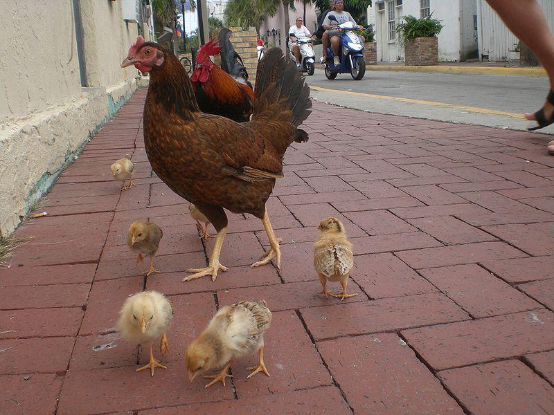 """""""Gypsy"""" chicken in Key West. (Photo by Marc Averette.)"""
