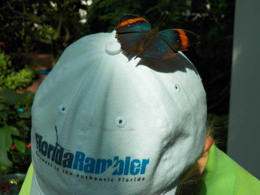 Key West butterfly garden: Hitchhiking butterfly
