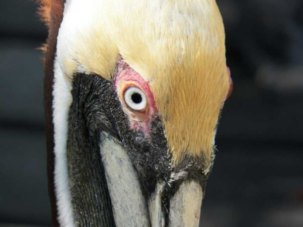 Pelican at Florida Keys Wild Bird Center, Tavernier