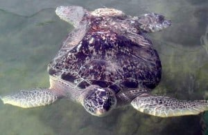 Bubblebutt, first and longest permanent resident of the Turtle Hospital