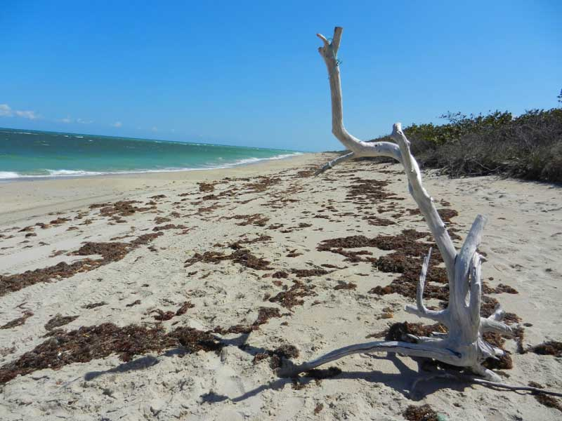Kayaking St Lucier River waterways: Driftwood at hidden beach at St. Lucie Inlet Preserve State Park in Florida