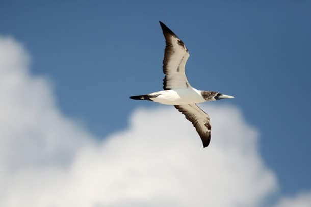Masked booby in flight at Dry Tortugas National Park