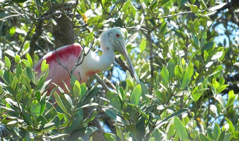 Roseate spoonbills were among the plentiful wildlife on Caladesi Island State Park. (Photo: David Blasco)