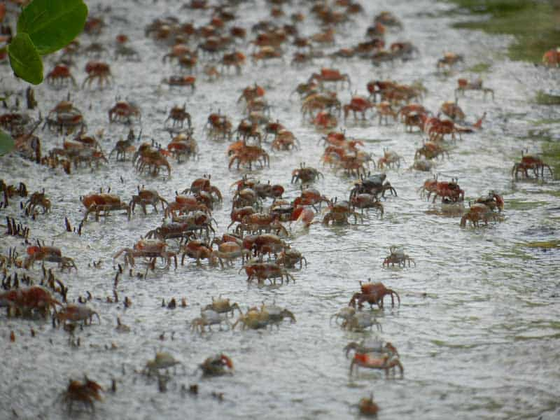 Army of fiddler crabs at Tigertail Beach on Marco Island. (Photo: Bonnie Gross)