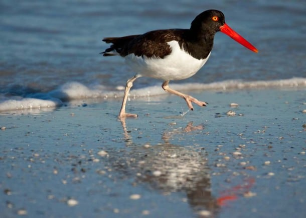 Oyster catcher at Fort Desoto Park